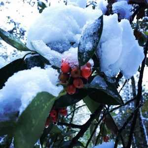 houx rouge hiver neige